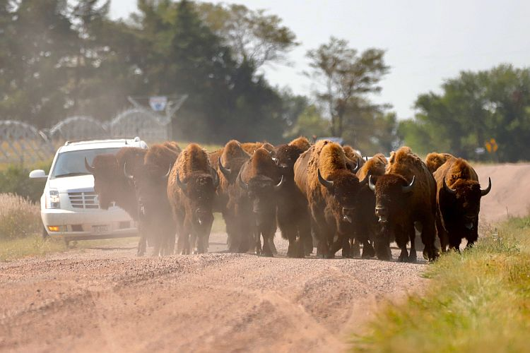 (AUDIO/VIDEO) Numerous Bison continue to roam the south-central Nebraska countryside