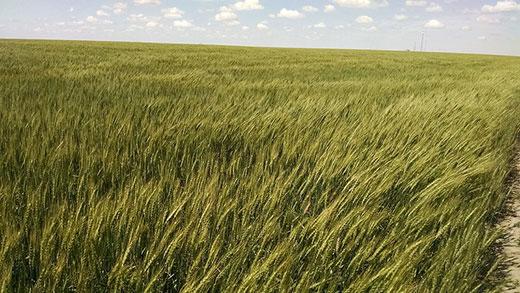 K-State researchers study wheat for grazing, grain