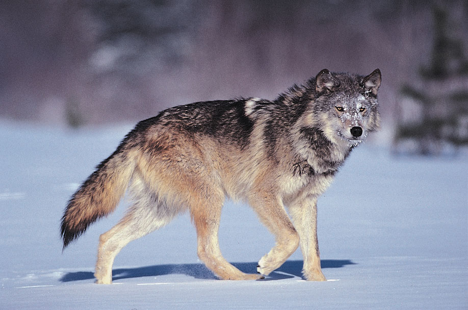 Gray wolf delisted from endangered species list