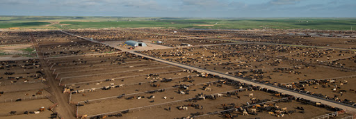 Audio: November cattle on feed report