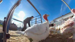 Turkey farming changes as consumers prepare for unique Thanksgiving celebration