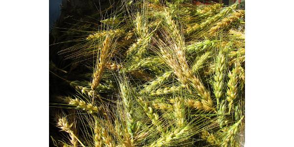 Hard white wheat demonstrates good quality