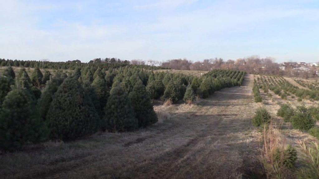 AUDIO: Nebraska Christmas tree farms set records in opening weekend