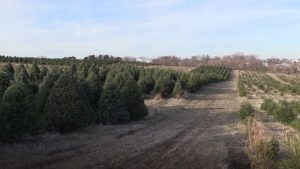 AUDIO: Nebraska Christmas tree farms set records in opening weekend
