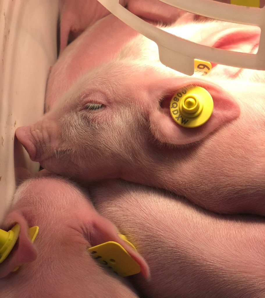 Local business to export pigs to east Asia