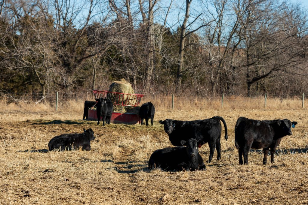 K-State experts offer advice on getting heifers prepared for their first breeding season