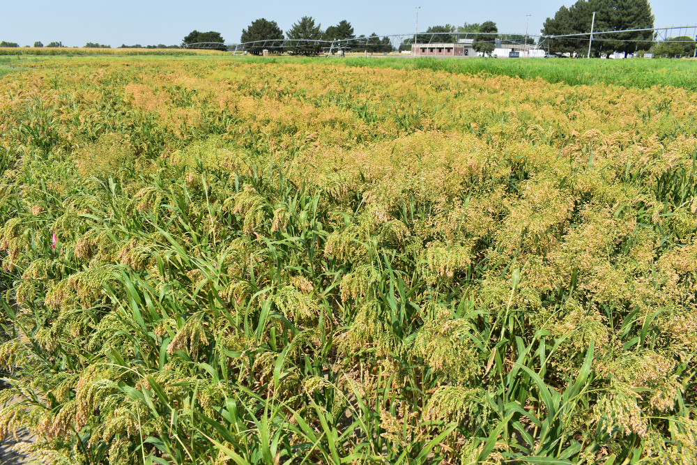 Grad student working to develop modern crop-breeding tools for proso millet