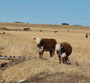 Friday Feeders: Olsen Ranch approaches calving season to its benefit