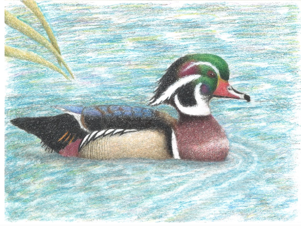 Nebraska Junior Duck Stamp Winners Announced