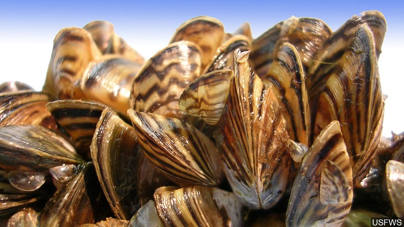 Wyoming Convenes Emergency Panel on Zebra Mussels
