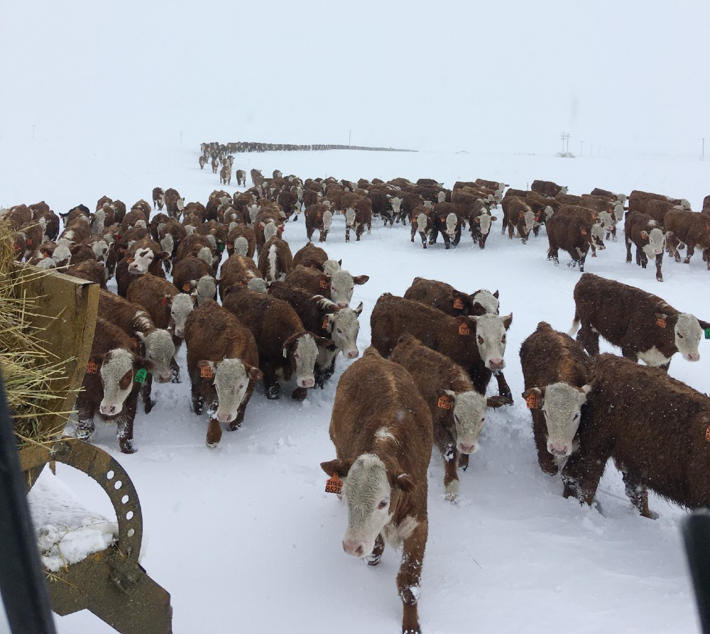 Friday Feeders: Winter storm and getting ready for spring on Olsen Ranch